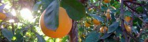 naranja arbol