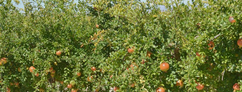 pomegrante concentrate trees