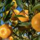 zumo concentrado de mandarina