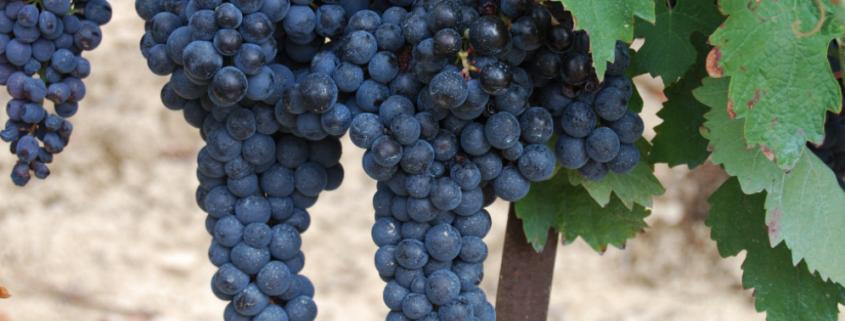 zumo concentrado de uva tinta